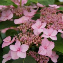Hydrangea serrata Spreading Beauty (L)